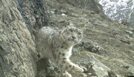 Snow leopard in Darvaz